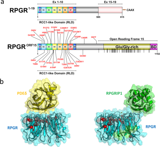 Major RPGR protein isoforms (constitutive RPGREx1-19 and RPGRORF15) domain schematic. (a) Domain architecture schematics for both major isoforms are shown drawn to scale. The seven blades (B1 to B7) that form the beta-propeller RCC1-like domain (RLD) encoded within Exons 1–10 in both major isoforms are indicated. The RPGREx1-19 C-terminal isoprenylation site (CAAX) is shown. The location of the RPGRORF15 Glutamate/Glycine-rich Domain and Basic Domain (BD) within the Open Reading Frame 15 are highlighted. All known disease-causing missense mutations (labelled), and a total of 52 known nonsense mutations specifically located within the Open Reading Frame 15 (vertical lines on domain schematic) are indicated. Mutation data was mapped from the Human Gene Mutation Database (Stenson et al., 2014) (accessed 27th May 2015). (b) The crystal structures of the RPGR RLD (blue) in complex with PDEδ (yellow) (Wätzlich et al., 2013) and RPGRIP1 (green) (Remans et al., 2014) are shown using PyMol (http://www.pymol.org) as surface representations with a transparency setting to highlight location of known missense mutations (red spheres, only alpha carbon atoms shown) on structure. PDEδ and RPGRIP1 interaction sites on the surface RPGR partially overlap (Remans et al., 2014).