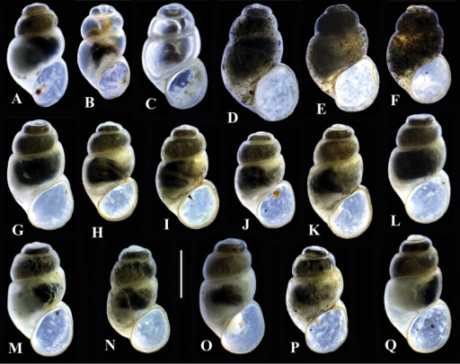 Shells of Bythinella. A locality B1 B–C locality B7 D–F locality B5 G–Q locality B10; bar equals 1 mm.