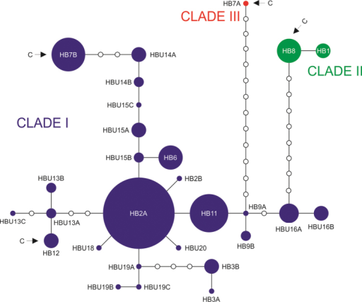 The median-joining haplotype network of COI haplotypes for clades I, II and III. Sequences from Falniowski et al. 2009a and Falniowski et al. 2012 are also included. Arrows and the letter C indicate cave haplotypes.