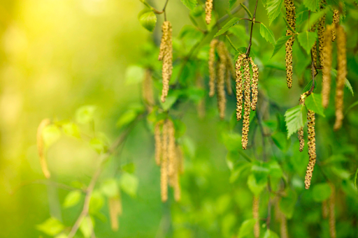 Seasonal allergies in North America begin in the spring, when trees such as birch (shown), oak, and mountain cedar begin to bloom. The inconspicuous flowers of plants like these are designed not to attract pollinators but to release their pollen into the air, where it is carried by the wind.© Marcus Lindstrom/Getty