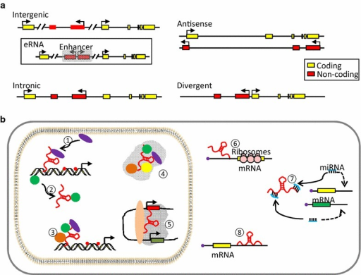 Genomic context and mechanisms of action of lncRNAs. a LncRNAs can be categorized according to their genomic loci relative to protein-coding genes. Intergenic lncRNAs (lincRNAs) are separate transcription units from protein-coding genes. Among them, a class may be transcribed from enhancers (eRNAs). Intronic lncRNAs are generated from the introns of protein-coding genes without overlapping with exons. Antisense lncRNAs are transcribed in opposite direction of protein-coding genes and overlap with the exons. Divergent lncRNAs are normally initiated from the promoter region of protein-coding genes. b LncRNAs exploit distinct mechanisms to elicit their regulatory roles in gene expression. ① lncRNAs can recruit proteins such as chromatin modifiers to target DNA; ② lncRNAs may act as decoy to titrate away DNA binding proteins like transcription factors; ③ lncRNAs can function as scaffold to bring multiple proteins into a complex; ④ to organize higher-order nuclear structure; ⑤ eRNAs can interact with Mediator and/or Cohesin complex to mediate and/or stabilize chromosomal looping between enhancers and cognate promoters. In cytoplasm, ⑥ lncRNAs can influence translation through intervening the loading of polysomes to mRNAs; ⑦ lncRNAs can serve as miRNA sponges to release their inhibitory roles on target mRNAs; ⑧ lncRNAs can regulate mRNA decay pathway, stabilizing or destabilizing mRNAs through RNA/RNA interaction with mRNA
