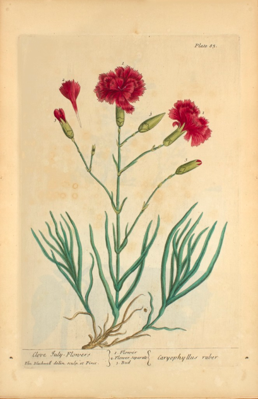 <p>Illustration of the flowers and buds of clove.</p>