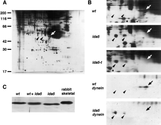 Electrophoresis patterns of wild-type and mutant  axonemes. (A) Two-dimensional SDS-PAGE pattern of  wild-type axonemes. pH range:  4.0–7.0. (Left) Basic polypeptides. (Bars with numbers)  Positions of molecular mass  standards shown in Mr ×  10−3. (B) Portions of twodimensional electrophoresis  showing spots of actin and  NAP appearing in the mutants. (wt, ida5, and ida5-t)  Axonemes of wild type and  mutants. (wt dynein and ida5  dynein) Inner-arm subspecies g separated by chromatography. Arrows in A and B  indicate the position of actin;  arrowheads indicate those of  NAP. In ida5-t, two spots of  unidentified origins were  shifted by ∼0.2 pH unit to  more alkaline positions (*).  This shift may be caused by  another gene disruption event  in this mutant. The smear  (triangle) is an artifact of silver staining. The faint spots  seen in the dynein patterns (shown in a series) are those of tubulins with various degrees of posttranslational modification. (C) One- dimensional SDS-PAGE of subspecies g. Samples from wild type, ida5, and their mixture were loaded on the same 11% polyacrylamide  gel. (Lane rabbit skeletal) Rabbit skeletal muscle actin. Only a portion near the actin band is shown. All gels were stained with silver.