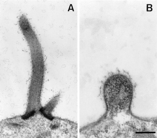 Fertilization tubules in wild-type (A) and ida5 (B) mt+  gametes produced in response to a 1-h exposure to 10 mM dibutyryl-cAMP and 1 mM IBMX. Bar, 0.3 μm.