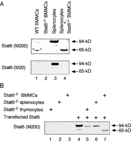 A 65-kD isoform of Stat6 is produced by proteolytic processing. (A) Cell extracts from WT splenocytes were incubated with cell extracts of BMMCs from Stat6−/− mice at 37°C for 20 min and analyzed by Western blotting with anti-Stat6 (M200) antibody (top) or anti-Stat6 (M20) antibody (bottom). As controls, cell extracts from WT BMMCs and Stat6−/− BMMCs were blotted with anti-Stat6 antibodies. Representative blots from four independent experiments are shown. (B) COS7 cells were transfected with Stat6 expression vector and their cell extracts were used as a source of Stat6 protein. Transfected Stat6 was incubated with cell extracts of thymocytes, splenocytes, or BMMCs from Stat6−/− mice at 37°C for 20 min and analyzed by Western blotting with anti-Stat6 (M200) antibody. A representative blot from four independent experiments is shown.