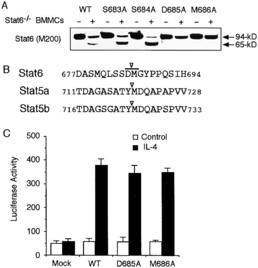 D685A and M686A Stat6 are resistant to the Stat6 protease activity. (A) Alanine substitutions of Stat6 (S683A, S684A, D685A, or M686A Stat6) were transfected to COS7 cells. Cell extracts were then incubated with or without Stat6−/− BMMC extract and blotted with anti-Stat6 (M200) antibody. A representative blot from four independent experiments is shown. (B) Relevant aa sequence of the putative cleavage site of Stat6 is shown in comparison with a reported cleavage site of Stat5a and Stat5b (17). (C) Similar to Fig. 5 B, COS7 cells were transfected with D685A, M686A, or WT Stat6 and the luciferase activity of TPU474 was measured in the presence or absence of IL-4. Data are means ± SD for four experiments.