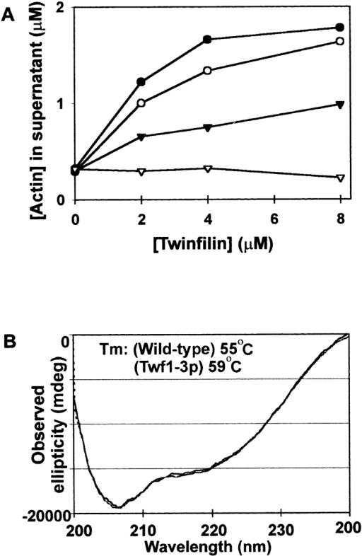 The mutant twinfilin Twf1-3p is not able to bind actin monomers. (A) The ability of wild-type (•), Twf1-1p (○), Twf1-2p (▴), and Twf1-3p (▵) to sequester actin monomers is demonstrated by a graphical representation of the quantitation the amount of actin present in the supernatant fraction in actin filament sedimentation assays. The actin concentration in the experiment was 4 μM and the twinfilin concentration varied from 0 to 8 μM. Wild-type twinfilin efficiently increases the amount of yeast actin in the supernatant, whereas Twf1-3p is much less efficient in increasing the amount of actin in the supernatant. (B) Wild-type twinfilin and Twf1-3p have similar structure and stability. Far UV CD spectra of wild-type twinfilin (solid line) and Twf1-3p (dotted line) at 20°C are almost identical. Twf1-3p appears to be slightly more stable than wild-type twinfilin, as judged on the basis of melting points that were measured by following α helix distortion by CD signal at 222 nm as the temperature was raised in intervals of 5°.