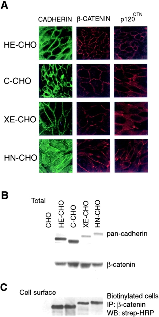 Characterization of CHO cells expressing different classical type I cadherins. (A) Immunofluorescence staining of different cadherin-expressing CHO cell lines, using antibodies to either the specific cadherin as indicated, β-catenin, or p120ctn. (B) Western blot analysis of expression levels of cadherins or β-catenin in the different cadherin CHO cell lines using equal micrograms of total protein. The same membrane was incubated with a β-catenin antibody and a pan-cadherin antibody (PEP-1). (C) Cell surface expression of different cadherins on CHO cells. Intact cells were biotinylated, lysed, and equal amounts of protein were immunoprecipitated with a β-catenin antiserum and immunoprecipitates were Western blotted, after which the biotinylated proteins were recognized by streptavidin-HRP.