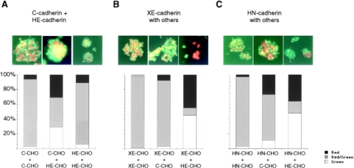 Variable sorting specificities for different cadherin-expressing CHO cells. Cell aggregation assays using cells labeled with fluorescent dyes, either diI (red) or diO (green). Cells were allowed to aggregate for 3 h. For A–C, examples of fluorescence are shown in top panels, with quantification of sorting versus mixing shown in the graphs below. (A) diI-labeled C-CHO cells mix completely with diO-labeled C-CHO cells, and diI-labeled HE-CHO cells also mix completely with diO-labeled HE-CHO cells, showing that the fluorescent label does not cause cells to sort artifactually. Middle, C-CHO cells (red) also mix to a large extent with HE-CHO cells (green). (B) XE-CHO cells (red in all cases) mix with XE-CHO cells (green) or with C-CHO cells (green), but sort out from HE-CHO cells (green). (C) HN-CHO cells (red in all cases) mix with HN-CHO cells (green) or C-CHO cells (green), but sort out from HE-CHO cells (green). Total number of counted aggregates is set at 100%. Black bars, diI labeled aggregates (red); striped bars, diI- and diO-labeled mixed aggregates; white bars, diO-labeled aggregates (green).