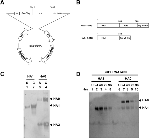 Construction of expression vector for constitutively H5N1 HA secretion in Flp-In based mammalian expression system.(A) To enhance HA protein expression from the FRT-CMV vector (Invitrogen), an RNA splicing sequence from HTLV-I gene and a cassette containing NotI and PacI cloning sites was introduced after CMV promoter using Topo cloning system. (B) Schematic of HA1 (1-330) & HA0 (1-500) V5-His6 tagged fusion proteins expressed in Flp-In system. The H5N1/Vietnam HA sequence coding for either HA1 (1-330) or HA0 (1-500) was inserted into the vector as a NotI-PacI insert. (C–D) Expression and purification of H5N1 A/Vietnam/1203/2004 hemagglutinin proteins from 293 Flp-In stable cell lines. (C) Expression of HA proteins secreted into supernatant from 293 Flp-In cells [S], and in the cell lysates [C] was analyzed by western blot using anti-V5 MAb. (D) HA protein level from supernatant of 293 Flp-In cell culture in serum free medium, collected at different time points: 24, 48, 72 and 96 hours post culture splitting and was analyzed in SDS PAGE followed by western blot with anti-HA1 polyclonal sera.