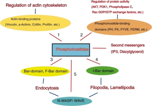 A variety of physiological functions of phosphoinositide-binding proteins. Phosphatidylinositol (4, 5) bis-phosphate generates two second messengers, inositol (1, 4, 5) tris-phosphate(IP3) and diacylglycerol. In addition, phosphoinositides are involved in the regulation of actin binding proteins (1), various protein activities (2), endocytosis (3), membrane protrusions such as filopodia and lamellipodia (4) and the activities of N-WASP/WAVE proteins (5).