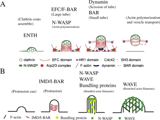 Functional models of the BAR, EFC/F-BAR, or IMD/I-BAR-containing proteins and of WASP/WAVE proteins in inward or outward deformation of the membrane. A. Role of BAR, EFC/F-BAR, and N-WASP in endocytosis. B. Role of IRSp53 and WAVE in the formation of outward protrusion.