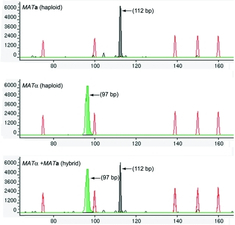 Capillary electrophoresis fragment-length analyses (CE-FLA) for the identification of mating types and hybrids. The ABI PRISM 310 Genetic Analyzer and GeneScan analysis software were used for the fragment length analysis of the pheromone genes. Sense strands of MFα1 and MFa1 were labeled with fluorescent probes TET (green) and HEX (black), respectively, and polymerase chain reaction amplicons were analyzed with POP-4 polymer under denaturing conditions at 60°C. Green peak, MFα1; black peak, MFa1. These peaks were aligned by using an internal size standard, GeneScan-500 TAMRA (red peaks).