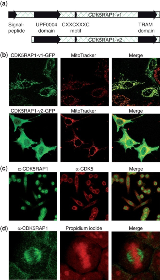 Subcelluar distribution of CDK5RAP1 variants. (a) Representation of the two investigated CDK5RAP1 variants with mitochondrial import sequence and catalytic domain. (b) Live-cell images of HeLa cells transfected with C-terminally GFP-tagged CDK5RAP1-v1 and CDK5RAP1-v2. For the counterstain of mitochondria, cells were incubated with MitoTracker Red dye. The merge shows that CDK5RAP1-v1 colocalizes with mitochondria, while CDK5RAP1-v2 is distributed in both cytoplasm and nucleus. (c) Formaldehyde-fixed HeLa cells were stained with an antibody against the N-terminal region of CDK5RAP1-v2 (Alexa-488, green) and against CDK5 (Alexa-555, red). The localization of CDK5RAP1 is predominantly nuclear with little overlap to CDK5. (d) Again, fixed HeLa cells were stained with anti-CDK5RAP1 (green). For localization of nucleic acids, propidium iodide (red) was used. CDK5RAP1 shows an association with the mitotic spindle.