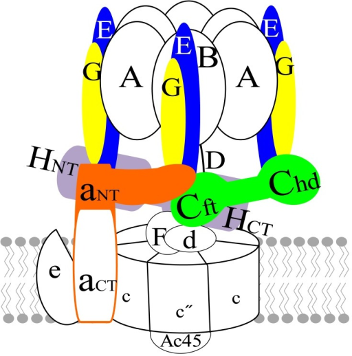 Structural model of human V-ATPase.Peripheral stalk subunits (E, G, C, aNT, and H) are emphasized using colors in the schematic model.