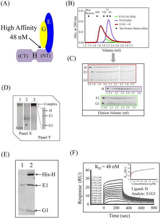 "Interactions between E1G1 and H.(A) Possible mode of E1G1-H binding interaction in vitro. Using a Biacore system, the KD values for affinity of H-E1G1 was estimated to be 48 nM. (B) Gel filtration profile of E1G1/H complex formation (red) in comparison to E1G1 (green) and H (purple) monomers. (C) SDS-PAGE analysis of the eluted fractions from gel filtration chromatography. Gel Border colors indicate samples corresponding to the color scheme used in 3B. ""C"" indicates control proteins. (D) Panel X: Basic native polyacrylamide gel electrophoresis analysis of E1G1 and H interaction. For complex formation, equimolar amounts of E1G1 and H proteins were mixed and incubated on ice for 1 h (lane 3). Bands corresponding to one molar amount of E1G1 and H are visible in lanes 1 and 2, respectively. Panel Y: SDS-PAGE (12% gel) analysis of the E1G1H complex band eluted from the native gel in panel X (lane 3). (E) SDS-PAGE of the eluted proteins from the His-tag pulldown experiment. Lane 1, fractions eluted using buffer B; lane 2, E1G1 complex bound with His-tagged H subunit eluted using buffer C. (F) Real-time binding evaluation was performed using a Biacore system. Sensorgrams for the binding of various concentrations of the analyte (E1G1) to the ligand (H) are shown. The inset curve shows the steady-state binding isotherm for binding of E1G1 at various concentrations to H ligand on a CM5 sensor chip."