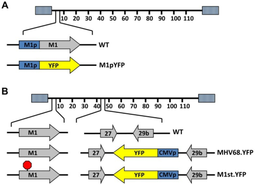 Generation of YFP reporter viruses.C57Bl/6 mice were intranasally infected with 5×105 pfu of the indicated virus and spleens were harvested at 14 days post infection. (A) To assess M1 promoter activity, a YFP cassette was cloned in place of the M1 open reading frame, allowing marking of infected cells where M1 promoter was active. (B) To determine MHV68 infection in the absence of M1 expression, a translational stop codon was introduced into the M1 open reading frame (ORF) of the MHV68-YFP BAC [23] by allelic exchange as previously described [2].