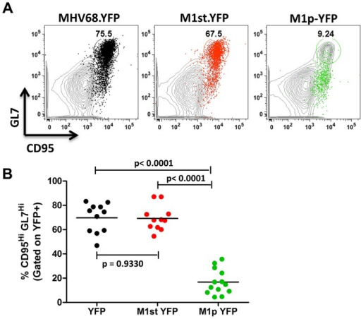 Low levels of M1 promoter activity are detected in germinal center B cells.C57Bl/6 mice were intranasally infected with 5×105 pfu of the indicated virus and spleens were harvested at 14 days post infection. B cells were defined by CD19+CD3− population. (A) Representative plots show YFP marking (colored) overlayed on total B cell population (gray) and are gated for germinal center B cells defined by GL7HiCD95Hi. (B) Complied results from 3 experiments, with 3–5 mice per group, show the frequency of YFP+ cells with a germinal center B cell phenotype.
