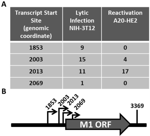 M1 transcript mapping identifies initiation and termination sites which result in a 1.3 and 1.5(A) 5′ and 3′ rapid amplification of cDNA ends (RACE) was performed using RNA isolated from infected NIH3T12 fibroblasts and stimulated MHV68 infected A20-HE2 cells. The number of RACE clones that were identified for transcript initiation and termination sites are summarized. (B) A diagram of the transcript initiation and termination sites is shown with the genomic coordinates.