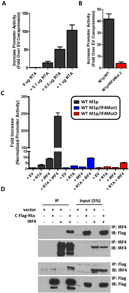 Efficient RTA transactivation of M1 promoter is dependent on a functional IRF4 binding site.(A) To evaluate the ability of Rta to transactivate the M1 promoter, a dosage response using increasing amounts of Rta expression vector war performed in P3X63Ag8 cells. (B) Mutations to the IRF4 binding motif were then generated and tested for the ability to respond to Rta in P3X63Ag8 cells. (C) Synergistic effects of RTA and IRF4 on WT and mutated M1 promoter were evaluated by expressing Rta or IRF4 alone or in combination (normalized with pCDNA empty vector) in 293T cells. (D) Lysates from 293T cells transfected with Rta or IRF4 alone or in combination were used for co-immunoprecipitation with IRF4 or Flag antibody. Membranes were probed with the anti-Flag or anti-IRF4 to for detection. The data shown for the reporter gene assays (panels A–C) were done with triplicate samples, and were repeated in 2–3 independent experiments. Standard error of the mean is shown.