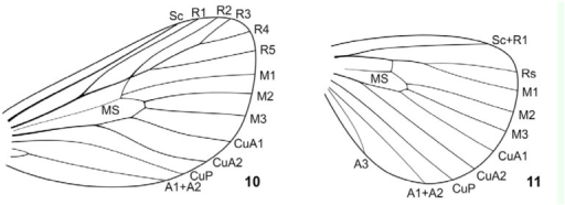 Wing venation of Pseudohampsonella erlangasp. n.; 10 — forewing; 11 — hindwing. High quality figures are available online.