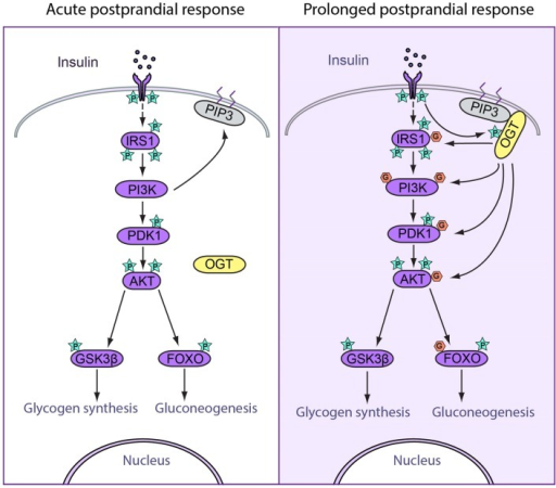Spatiotemporal regulation of feeding response by O-GlcNAcylation. (Left) Acute postprandial response. During early insulin signaling, OGT remains in the cytosol. Insulin binds to insulin receptor (IR) and triggers its autophosphorylation. Phosphorylation of IR recruits IRS1 to be phosphorylated, after which IRS1 binds to PI3K. PI3K catalyzes the production of PIP3, which recruits PDK1 to be phosphorylated and activated. Activated PDK1 phosphorylates and activates AKT, which further phosphorylates and activated downstream targets, including GSK3β and FOXO, which enhances glycogen synthesis and suppresses gluconeogenesis. (Right) Prolonged postprandial response. The insulin signaling pathway needs to be attenuated after a period of stimulation in order to maintain homeostasis. O-GlcNAcylation of insulin signal proteins contributes to the attenuation of the pathway. During prolonged insulin signaling, OGT translocates to the plasma membrane and binds with PIP3 through the PIP3-binding domain. OGT is then phosphorylated and activated by IR. Activated OGT O-GlcNAcylates key insulin signaling proteins including IRS1, PI3K, PDK1, and AKT, antagonizing the activation by phosphorylation on these proteins. These events lead to decreased glycogen synthesis and increased gluconeogenesis.