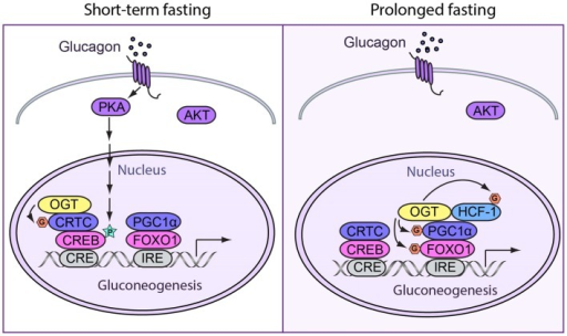 Spatiotemporal regulation of fasting response by O-GlcNAcylation. (Left) During short-term fasting, glucagon stimulates gluconeogenesis by enhancing the activity of CREB. Phosphorylation of CREB by PKA directly promotes gluconeogenic gene expression. Additionally, OGT can induce gluconeogenesis by O-GlcNAcylating CRTC2, the co-activator of CREB. When CRTC2 is dephosphorylated and then O-GlcNAcylated at the same site, it translocates into the nucleus and binds to CREB to induce gluconeogenesis. (Right) In prolonged fasting, OGT targets PGC-1α via a complex with HCF-1. Both PGC-1α and HCF-1 can be O-GlcNAcylated. O-GlcNAcylated PGC-1α helps recruit OGT to glycosylate and activate FOXO1, which further promotes hepatic glucose production.