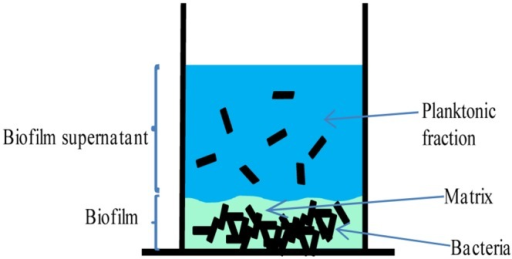 C. difficile biofilm development.Schematic representation of the C. difficile plate-grown biofilm. Matrix-associated and supernatant (planktonic) bacteria are shown. Specific individual biofilm fractions were harvested for proteomics as described in the Methods.