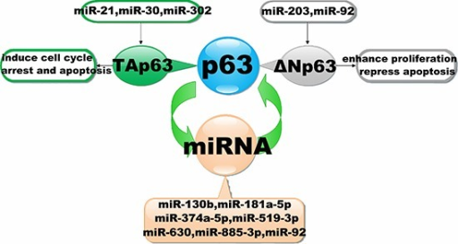 Interaction of miRNAs with the p63 signalling pathwayThe diagram schematic represented the regulatory loops that exist between p63 and miRNAs. It illustrates that miRNAs could regulate the expression by targeting to p63. Conversely, miRNAs expression also could be inhibited by p63.