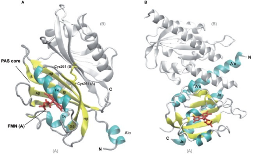 Structures of Arabidopsis thaliana LOV1 and LOV2 domains of phototropin 1 dark-adapted state. LOV1 domain (2Z6C; Nakasako et al., 2008), (A) and LOV2 of phototropin 1 in dark-adapted state (4HHD; Halavaty and Moffat, 2013), (B). Subunits B of LOV1 and LOV2 are shown in white, subunit A of the respective LOV domains is shown in colors according to secondary structure. Several α-helices (cyan) and β-strands (yellow) of the PAS core are labeled according to their nomenclature within the PAS domain as well as flanking helices, which are involved in dimerization and signaling. The Flavin mononucleotide chromophores (red) and the disulfide-bond-creating Cys at position 261 (Cys261, yellow) in the monomers of LOV2 domains, respectively, are depicted as sticks. C- and N-termini of subunits A and B are labeled (C, N). The graphic representation of the structure was generated using VMD (Humphrey et al., 1996).