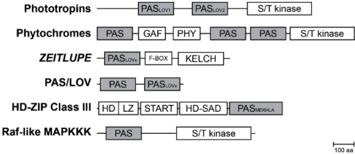 Composition of PAS containing multidomain proteins in plants. Schematic representation of PAS domain-containing proteins in Arabidopsis and their multidomain architecture (Mitchell et al., 2015). The PAS module is located in variable positions within the protein and associated with a variety of effector domains. Abbreviations: PAS, per-arnt-sim domain; PASLOV1/2, LOV (light oxygen, or voltage) subclass of PAS domain; PASMEKHLA, PAS-like MEKHLA domain; S/T kinase, Serine/Threonine kinase; F-BOX, domain interacting with SCF complex; KELCH, KELCH repeat; GAF, cGMP-specific phosphodiesterases, adenylyl cyclases and FhlA; PHY, GAF-like domain/Chromobillin binding; START, StAR-related lipid-transfer; HD-SAD, HD-START-associated domain; HD, homeodomain; LZ, Leucine zipper; aa, amino acids.