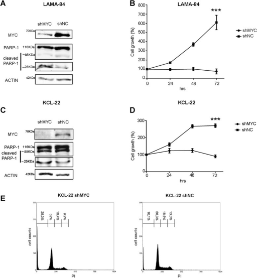 Biological role of MYC silencing in CML cell lines. Immunoblots for MYC, PARP-1 and Actin in LAMA-84 (a) and KCL-22 (c) cell lines encoding MYC-shRNA (shMYC) or the control shRNA (shNC). The PARP-1 antibody recognizes total (116kDA) and cleaved PARP-1 (85/25kDa). Cell viability of the same cells (b,d) was determined by the MTS assay. Values represent the mean normalized percentage of survival compared to control cells (n = 5 wells; ± SD). (***: p < 0.001). (e) Flow cytometry analysis of propidium iodide (PI) stained KCL-22 cells after 72h of MYC silencing