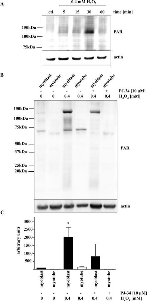 PARylation induced by oxidative stress is reduced in myotubes.(A) Representative Western blot shows a maximal amount of PAR signal at 30 minutes after H2O2 treatment. (B) Comparison of PAR formation of myoblasts and myotubes in response to exposure to 0.4 mM H2O2 in the presence or absence of PJ34 at 30 min post-treatment. (C) Densitometric analysis of PAR level in myoblasts and myotubes. One-way ANOVA was used for statistical analysis and determination of significance. * indicates p<0.05 relative to untreated myoblasts.