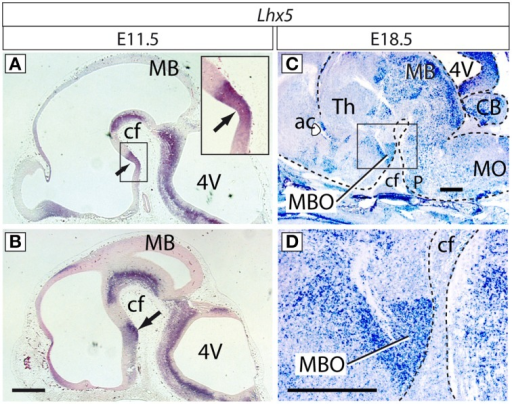 Expression of Lhx5 in the mamillary region. In situ hybridization for Lhx5 on sagittal sections (rostral to the left) of E11.5 (A,B) and E18.5 (C,D) brains. Lhx5 is expressed in the ventricular zone (neuroepithelium; arrow in (A) and inset in (A) as well as in the incipient mamillary mantle layer (arrow in B). At E18.5, the MBO is prominently and specifically labeled in the mamillary region (framed in C, magnified in D). Abbreviations: 4V, fourth ventricle; ac, anterior commissure; cf, cephalic flexure; MB, midbrain; MBO, mamillary body; MO, medulla oblongata; P, pons; Th, thalamus. In (C,D) a dashed line brings out the contour of the brain. Scale bars: 500 μm.