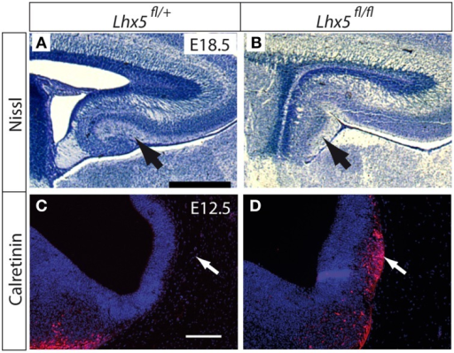 Lhx5 mRNA and LHX5 protein in Lhx5fl∕fl mutants. (A,B) Nissl staining of the hippocampus of Lhx5fl∕+(A) and Lhx5fl∕fl mutant (B) E18.5 embryos. Arrows indicate the dentate gyrus in (A) and its absence in (B). (C,D) Immunohistochemistry against calretinin (red) on Lhx5fl∕+ and Lhx5fl∕fl mutant E12.5 embryos, counterstaining with DAPI (blue). Arrows in (C,D) show the presence of an ectopic Cajal-Retzius cell cluster in the mutant telencephalon. Scale bars: (A,B): 500 μm; (C,D): 100 μm.