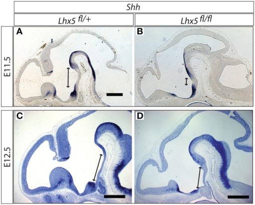 Shh domain expanded in the Lhx5fl∕fl mutant. In situ detection of Shh expression in Lhx5fl∕+ and Lhx5fl∕fl mutant E11.5 (A,B) and E12.5 (C,D) embryos. Lines with arrowed ends indicate the size of the Shh-free region in the midline. Scale bars: 500 μm.