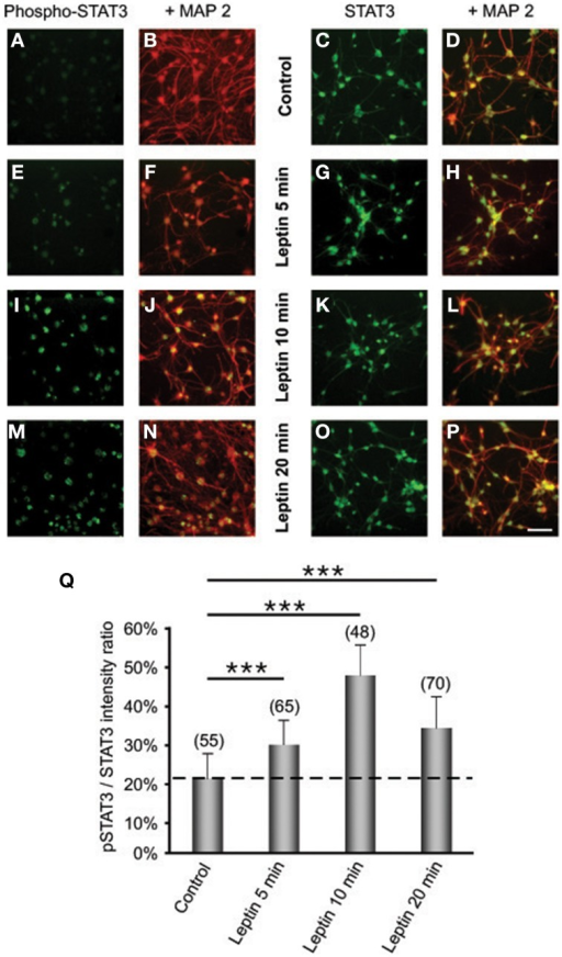 Leptin triggers STAT3 pathway activation in SVZ-derived neurospheres. (A–P) Immunocytochemical assay of leptin effects on STAT3 (C,D,G,H,K,L,O,P) and its active phosphorylated form (Phospho-STAT3; A,B,E,F,I,J,M,N) in MAP2-labeled neuronal cell subpopulation of in SVZ neurospheres. SVZ neurospheres were assayed in the absence (Control) or in the presence of 6.2 M leptin for the indicated time periods. ***significantly different from control at p < 0.001. (Q) Proportions (%) of activated Phospho-STAT3 immunoreactive among total STAT3 cells; the numbers in brackets indicate the number of STAT-3 cells quantified for each duration of leptin exposure.