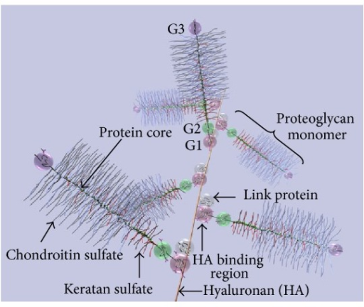 Diagram of part of an aggrecan aggregate. G1, G2, and G3 are globular, folded regions of the central core protein. Proteoglycan aggrecan showing the noncovalent binding of proteoglycan to HA with the link proteins.