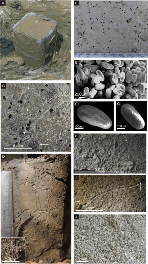 A. The shallow box core being extracted at Revdanda tidal flat. B & C. Field photographs of polychaete burrows associated with pellet mounds. The white arrows in C indicate pellet mounds. Innumerable pellets lie dispersed in the background on the surface of the mudflats. D. Wavy, sinuous and branched burrows of uniform width. Inset: pellet cluster. E. SEM photograph of a pellet aggregate. F & G. SEM images showing surficial striae on pellets. The pellet in F shows an attachment scar in negative relief. H. The undisturbed surface of the box core covered with randomly oriented pellets. Numerous cross-sections of pellets directed towards the reader show dark, homogenous internal structure of pellets. I. One of the several strings of fecal pellets connecting two pellet mounds. J. Lateral surface of box core showing stacked laminae of pellets.