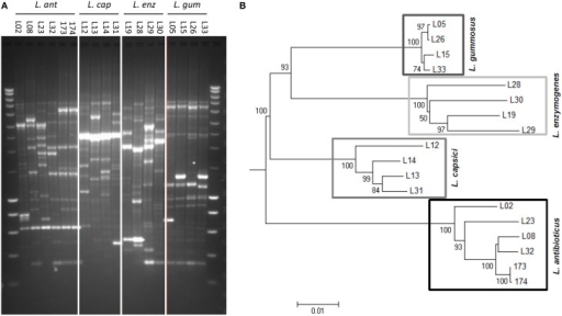 Genetic diversity of 18 selected Lysobacter strains belonging to four different species. (A) Genetic profiling by BOX-PCR. Lanes on complete left and right shows Smartladder (Eurogentec) marker. (B) Phylogenetic tree of the Lysobacter strains based on the concatenated sequences of the 16S ribosomal RNA gene (16S rRNA), a gene encoding a recombination/repair protein (recN) and a gene encoding the subunit C of the excinuclease ABC (uvrC). The evolutionary relationship of the Lysobacter strains was inferred by alignment with ClustalW and neighbor-joining tree construction. The numbers at the nodes indicate the level of bootstrap support of 50 or higher, based on neighbor-joining analysis of 1000 resampled data sets. The bar indicates the relative number of substitutions per site.
