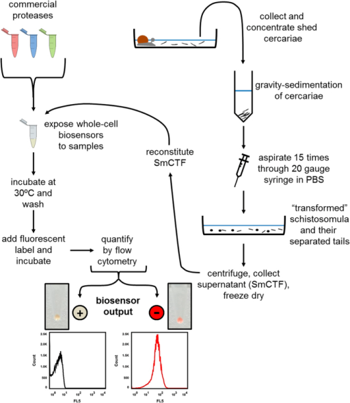 Schistosoma biosensor work-flow.S. mansoni cercariae are shed from infected snails and mechanically-transformed to produce S. mansoni cercarial transformation fluid (SmCTF) samples, which were lyophilised. Whole-cell biosensors are treated with either reconstituted SmCTF biological samples or a control protease from a commercially sourced panel. Whole-cell biosensors are washed and labelled. Labelled cells are analysed via flow cytometry. Proteolytic cleavage of the biosensor via the activity of SmCTF-derived cercarial elastase prevents cell labelling, thus resulting in a 'loss of colour' biosensor output (+detection of S. mansoni). Labelled cells indicate that the biosensor was not proteolytically cleaved thus resulting in a 'gain of colour' biosensor output (−detection of S. mansoni).