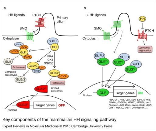 Key components of the mammalian HH signalling pathway. In absence of HH ligands (a), PTCH inhibits SMO by preventing its entry into the primary cilium. GLI proteins are phosphorylated by PKA, GSK3β and CK1, which create binding sites for the E3 ubiquitin ligase β-TrCP. GLI3 and, to a lesser extent, GLI2 undergo partial proteasome degradation, leading to the formation of repressor forms (GLI3/2R, red), that translocate into the nucleus where they inhibit the transcription of HH target genes. Full-length GLI may also be completely degraded by the proteasome. This process can be mediated by Spop and Cullin 3-based E3 ligase for GLI2 and GLI3, whereas GLI1 can be degraded by β-TrCP, the Numb-activated Itch E3 ubiquitin ligase and by PCAF (see text for details). Upon HH ligand binding (b), PTCH is displaced from the primary cilium, allowing accumulation and activation of SMO. Active SMO promotes a signalling cascade that ultimately leads to translocation of full length (FL) activated forms of GLI (GLIA, green) into the nucleus, where they induce transcription of HH target genes. Abbreviations: CK1, casein kinase 1; GSK3β, glycogen synthase kinase 3β; HH, Hedgehog; PCAF, p300/CREB-binding protein (CBP)-associated factor; PKA, protein kinase A; PTCH, Patched; SMO, Smoothened; Spop, speckle-type POZ protein; SUFU, Suppressor of Fused; β-TrCP, β-transducin repeat-containing protein.
