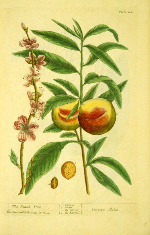 <p>Illustration of the flower, fruit, stone, and kernel of a peach tree plant.</p>