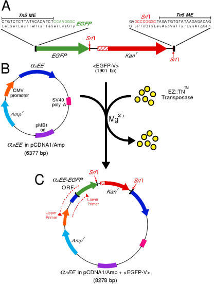 transposon mediated insertional mutagenesis in gene discovery These transposon‐based genetically engineered mouse models of cancer have provided a powerful tool for cancer gene discovery, complementing genomic studies in human tumour specimens that.