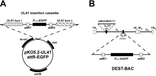insertion and amplification of egfp protein Fluorescent protein (gfp) as an indicator based on insertional inactivation the  brightest gfp mutant  insert was obtained by the pcr amplification (30 cycles.