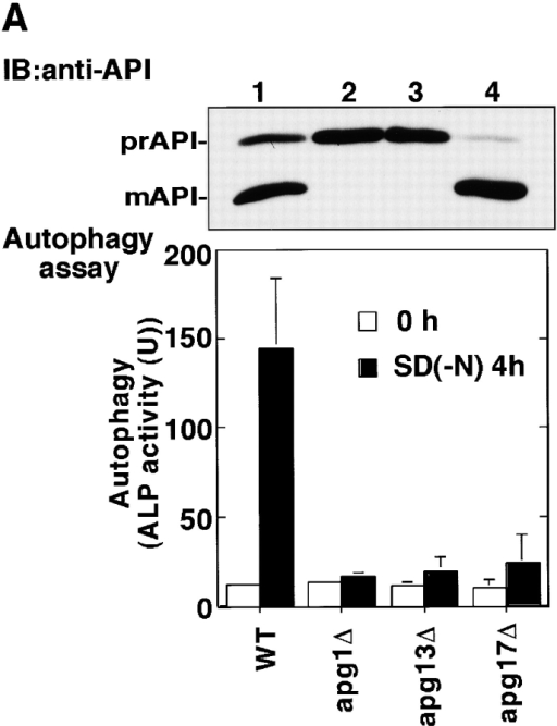 Apg1-associating proteins are required for Apg1 activation. A, Wild-type (TN125, lane 1), apg1Δ (YYK126, lane 2), apg13Δ (YYK130, lane 3), and apg17Δ (YYK121, lane 4) cells were analyzed with anti-API blot (top) and ALP assay (bottom). B, Wild-type (KA311A), apg13Δ (YYK119), apg17Δ (YYK111), and cvt9Δ (YYK107) cells expressing HAApg1 were treated with rapamycin (0.2 μg/ml, 1 h) and analyzed by kinase assay.