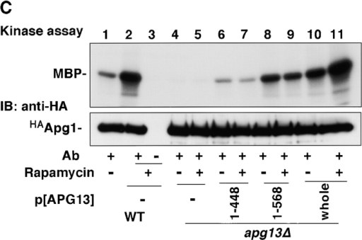 Apg1–Apg13 association is required for autophagy, but not for the Cvt pathway. A, Apg1-binding site of Apg13. Interaction of the indicated Apg13 fragments (prey) with Apg1 (bait) in the yeast two-hybrid system. Binding activity was estimated by β-galactosidase activity (Kaiser et al. 1994, shown as means and errors calculated from three independent experiments). B, Apg1–Apg13 association is required specifically for autophagy. Wild-type cells (TN125) or apg13Δ cells (YYK130) harboring the indicated APG13 constructs grown in YEPD were analyzed by anti-API immunoblot (top). An ALP assay was performed after 4 h SD(−N) incubation (bottom). C, Apg1 kinase assay was performed using the above APG13 transformants before or after rapamycin (0.2 μg/ml, 1 h) treatment.