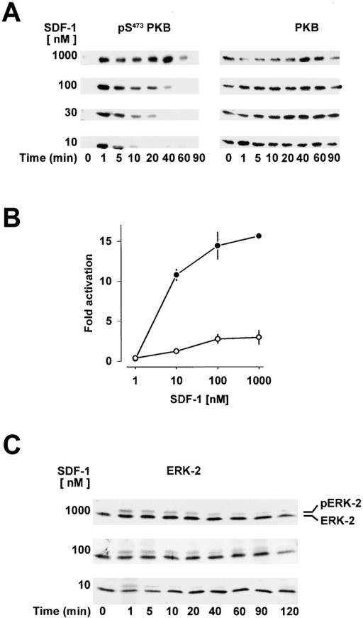 SDF-1 concentration dependence of prolonged protein kinase B and ERK-2 activation. (A) Western blot analysis of protein kinase B. T cells were stimulated with 10, 30, 100 nM or 1 μM SDF-1 for the indicated times. Activated (pSer473 PKB) and total protein kinase B (PKB) were determined as in the legend to Fig. 1 A. (B) Protein kinase B activity in immunoprecipitates from lysates of cells stimulated with the indicated concentrations of SDF-1 for either 1 min (•) or 20 min (○). Results are expressed as fold activation. (C) Western blot analysis of ERK-2. T cells were stimulated with 10, 100 nM and 1 μM SDF-1 for the indicated times. Activated ERK-2 (pERK-2) corresponds to the band with retarded electrophoretic mobility. Results are representative for at least three independent determinations.