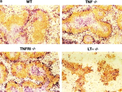 Determination of DC number in mice deficient in LTα, TNF, or TNFR. Spleens from 6–10-wk-old wt (WT), TNF−/−, TNFR−/−, and LTα−/− mice were collected. (A) Splenocytes were stained for the DC marker (CD11c) and class II marker (I-Ab) as indicated. (B) The frozen spleen sections were stained for anti-CD11c antibody for DC (red) and anti-B220 antibody for B cells (brown). Data from one of five representative experiments is shown. (C) Both lymphoid and myeloid DC subsets are reduced in LTα−/− mice. The splenocytes were stained for DC subsets with CD11b/CD11c and CD11c/CD8α as indicated.