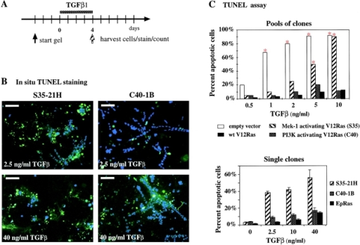 V12-Ras and C40-Ras but not S35-Ras protect EpH4 cells from TGFβ-induced apoptosis. (A) For apoptosis determination in collagen gels, EpH4 cells expressing Ras or Ras effector–specific mutants were allowed to form structures in collagen gels for 3 d and were treated with various concentrations of TGFβ (0.5–40 ng/ml) for 4 d (dotted bar). Cells were either TUNEL stained in suspension (C, top) or in situ (B, and C, bottom panel; as described in Materials and methods). (B) Confocal immunofluorescence analysis of gel structures formed by clones overexpressing S35-Ras (left) and C40-Ras cells (right) treated with moderate (top, 2.5 ng/ml) or high levels of TGFβ (40 ng/ml; see A) and subjected to in situ TUNEL staining (green). DAPI staining (blue) indicates live cells. (C) Quantitation of TUNEL-positive cells from collagen gel structures either stained and counted in suspension after collagenase digestion (top; red asterisks indicate statistically significant increases in apoptosis induced by TGFβ) or stained and counted in situ (bottom; as described in Materials and methods). Mean percentages of apoptotic cells from multiple gel structures plus standard deviations (error bars) from three independent determinations are shown. Bars, 50 μm.